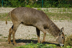 Waterbuck. Female waterbuck (Kobus ellipsiprymnus) in a cage royalty free stock images