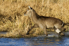 Waterbuck female running royalty free stock images