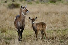 Waterbuck female with young, Masai Mara Stock Photo