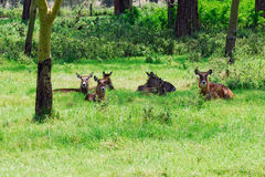 Waterbuck females Stock Photography