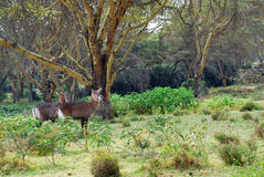 Waterbuck females Stock Photo