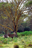 Waterbuck females Stock Images