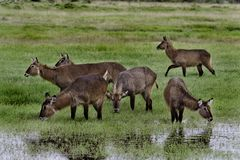 Waterbuck females drinking Royalty Free Stock Photography