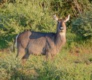 Waterbuck femelle images libres de droits