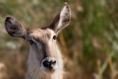 Waterbuck femminile (ellipsiprymnus del Kobus) Fotografie Stock Libere da Diritti