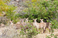 The Waterbuck Five. A group of five Waterbuck stand at attention in unison, Kruger National Park, South Africa Stock Photography