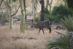 Waterbuck in a forest of fever trees in Gorongosa National Park Royalty Free Stock Images