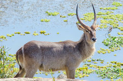 Waterbuck in front of green pond Stock Images