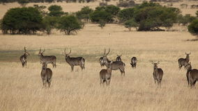 Waterbuck in grassland Stock Images