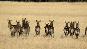 Waterbuck in grassland Stock Image