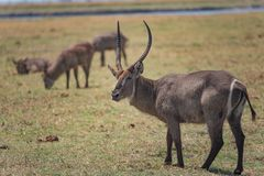 Waterbuck grazing in the island along the Chobe river. stock image