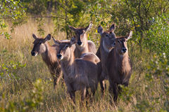 Waterbuck herd Royalty Free Stock Photos