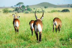 Waterbuck Herde, Kidepo Tal NP (Uganda) Lizenzfreies Stockfoto