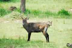 Waterbuck, het Nationale Park van Dalingen Murchison (Oeganda) stock fotografie