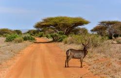 Waterbuck i akacian Senegal, Kenya nationalpark, Taita Hils, Afrika Royaltyfri Foto