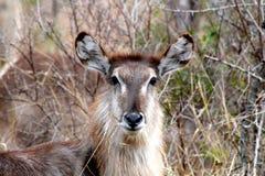 Waterbuck i den afrikanska busken Royaltyfria Bilder