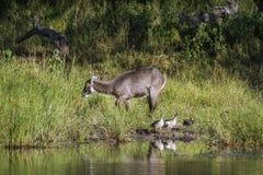 Waterbuck i waterbird w Mapungubwe parku narodowym, Południowy Afric Obrazy Royalty Free