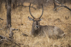 Waterbuck. Ilying in the bushes. South Africa Royalty Free Stock Photography