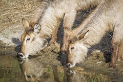 Free Waterbuck In Kruger National Park, South Africa Stock Image - 67089161