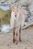 Waterbuck Kalb Lizenzfreies Stockbild
