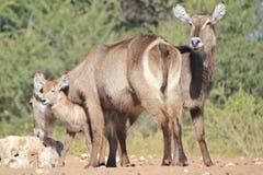 Waterbuck kalv - djurliv från Afrika - djur mammaförälskelse Arkivfoton