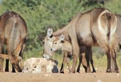 Waterbuck kalv - djurliv från Afrika som kontrollerar den nya världen Arkivfoton