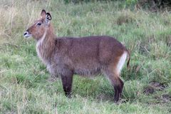 Waterbuck, Kenya, Africa royalty free stock photography
