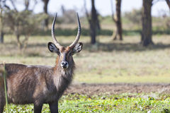 Waterbuck in Kenya Stock Photos