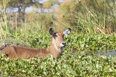 Waterbuck in Kenya Stock Photography