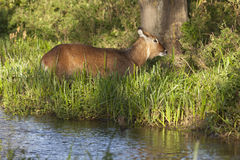 Waterbuck in Kenya Royalty Free Stock Image