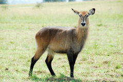 Waterbuck, Kidepo Valley NP, Uganda Stock Images