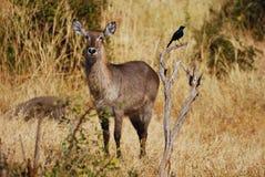 waterbuck kobus ellipsiprymnus женское Стоковое фото RF