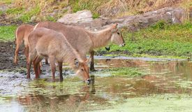 Waterbuck (Kobus ellipsiprymnus) Stockbilder