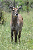 Waterbuck (Kobus ellipsiprymnus). A young male waterbuck antelope in the Kruger National Park, South Africa Royalty Free Stock Image