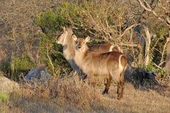 Waterbuck (Kobus ellipsiprymnus) Obrazy Stock
