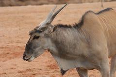 Waterbuck - Kobus ellipsiprymnus stockfotografie