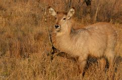 Waterbuck (Kobus ellipsiprymnus) obraz royalty free