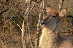 Waterbuck (Kobus ellipsiprymnus) zdjęcia stock
