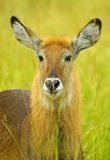 Waterbuck (Kobus ellipsiprymnus) stockfotografie