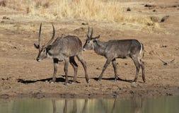 Waterbuck, Kobus ellipsiprymnus Obrazy Royalty Free