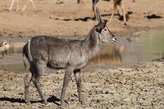 Waterbuck, Kobus ellipsiprymnus Fotografia Royalty Free