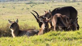 Waterbuck - Kobus ellipsiprymnus Fotografia Royalty Free