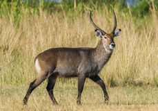 The waterbuck (Kobus ellipsiprymnus). Stock Photo