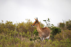 Waterbuck (Kobus ellipsiprymnus). In the Amakhala Game Reserve, Eastern Cape, South Africa Stock Photo
