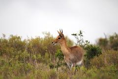 Waterbuck (Kobus ellipsiprymnus) Stock Photo