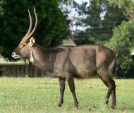 Waterbuck Royalty Free Stock Images