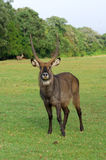 Waterbuck (Kobus ellipsiprymnus) antelope Royalty Free Stock Photos