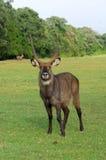 Waterbuck (Kobus ellipsiprymnus) antelope. Male Waterbuck (Kobus ellipsiprymnus) antelope,  Africa Royalty Free Stock Photos