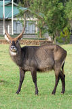 Waterbuck (Kobus ellipsiprymnus) antelope Royalty Free Stock Photography