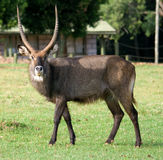 Waterbuck (Kobus ellipsiprymnus) antelope Royalty Free Stock Images